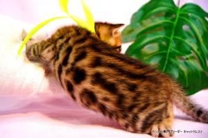 ベンガル子猫36番エメラルド君0201-3