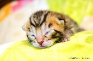 ベンガル子猫1月15日生36-0119-1