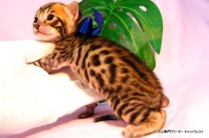 ベンガル子猫37番サファイア君0201-2