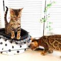 ベンガルの子猫マリモ・リジー