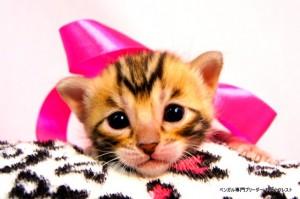 ベンガル子猫38番ピンクパールちゃん0201-1