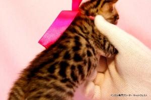 ベンガル子猫38番ピンクパールちゃん0201-2