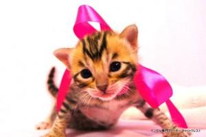 ベンガル子猫38番ピンクパールちゃん0201-4