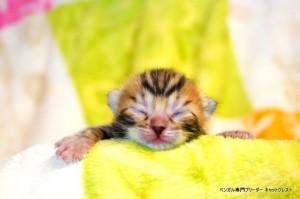 ベンガル子猫1月15日生39-0119-1