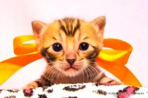 ベンガル子猫39番カーネリアンちゃん0201-1
