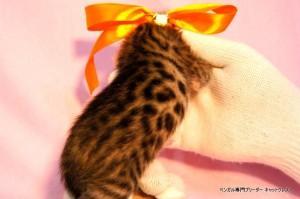 ベンガル子猫39番カーネリアンちゃん0201-2