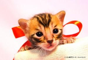 ベンガル子猫40番ノワールちゃん0201-1