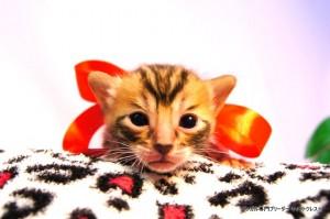 ベンガル子猫40番ノワールちゃん0201-4