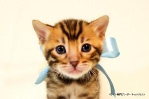 ベンガル子猫41番アクア君1