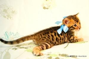 ベンガル子猫41番アクア君4