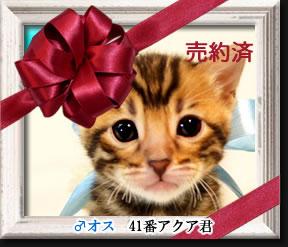 ベンガル子猫41番アクア君