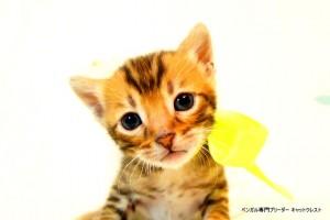 ベンガル子猫43番イエロー君1