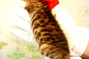 ベンガル子猫44番レッドちゃん3