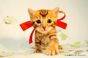ベンガル子猫44番レッドちゃん5