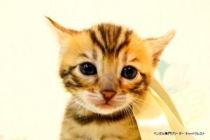 ベンガル子猫45番ホワイト