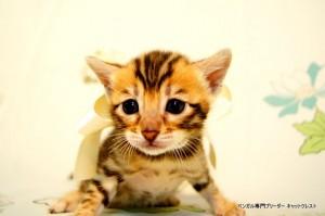 ベンガル子猫45番ホワイト4
