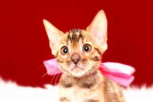 ベンガルの子猫367ピンク