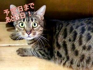 ベンガル猫 ウリ