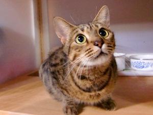 ベンガルの子猫がもうすぐ生まれます。