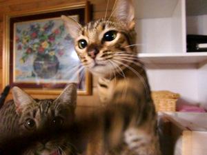 ベンガル猫 モカ