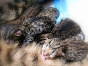 ベンガル猫ウリの子猫出産2