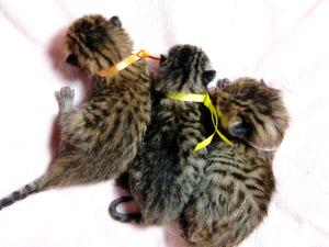 ベンガルの子猫 メス