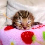 ベンガル子猫1番オレンジちゃん