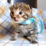 ベンガル猫の子猫みずいろ君111005