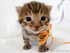 ベンガル猫の子猫1番オレンジちゃん111006-1