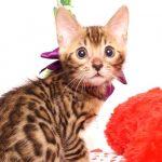 ベンガルの子猫 2019/7/1生 747番パープル オス2