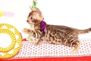 ベンガルの子猫 2019/7/1生 747番パープル オス6