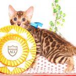 ベンガルの子猫 2019/7/1生 748番ブルー オス1