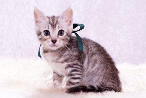 ベンガルの子猫 2017年8月18日生まれ 421番みどり君 オス