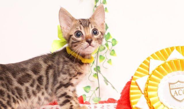 ベンガルの子猫 2019/7/1生 749番イエロー オス1