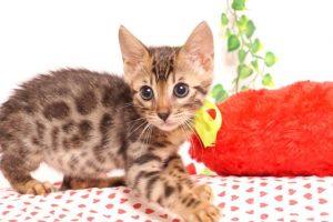 ベンガルの子猫 2019/7/1生 749番イエロー オス2