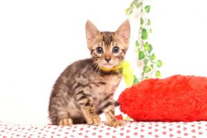ベンガルの子猫 2019/7/1生 749番イエロー オス3