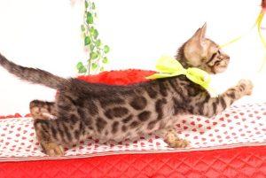 ベンガルの子猫 2019/7/1生 749番イエロー オス4