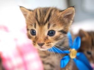 ベンガルの子猫5