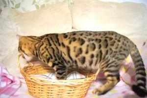 ベンガル猫 ナイト君