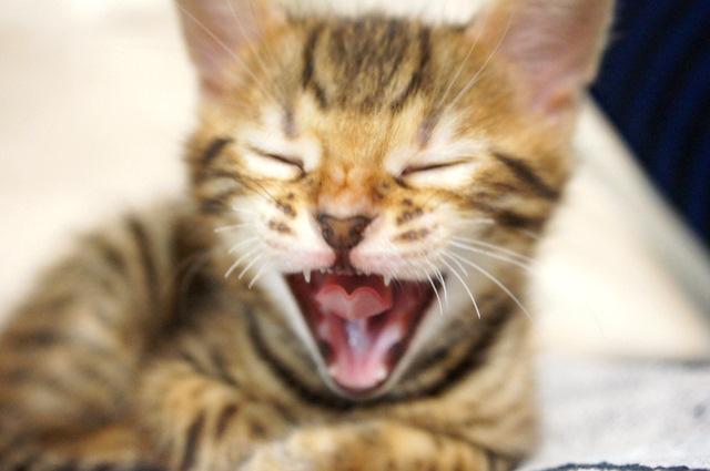 ベンガルの子猫 お昼寝2