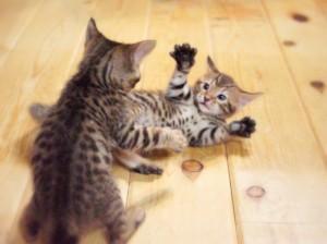 ベンガルの子猫 けんかゴッコ