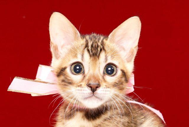 ベンガルの子猫 2017年9月16日生まれ 412番ももちゃん メス
