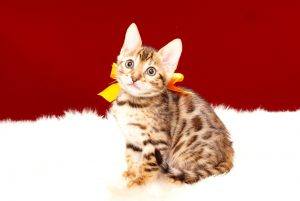 ベンガルの子猫 2017年9月21日生まれ 413番オレンジちゃん メス