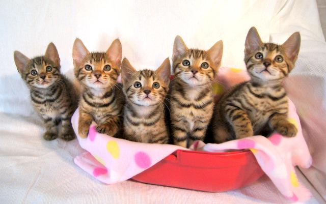 ベンガルの子猫 記念撮影
