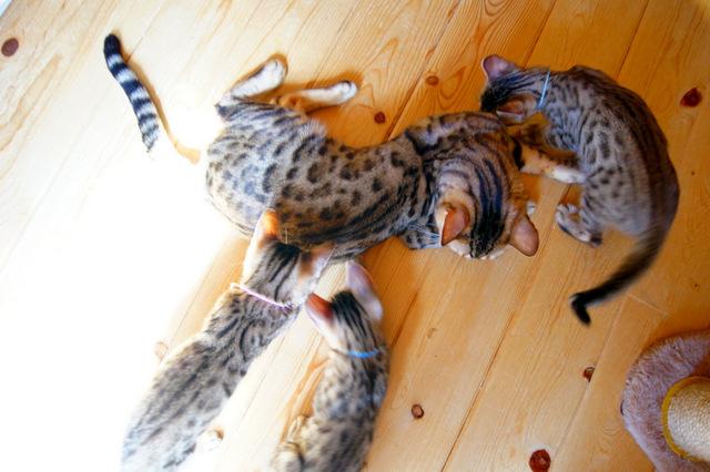 ベンガル猫 パパと子猫たち
