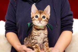 ベンガルの子猫 2017年9月30日生まれ 422番みどり君 オス