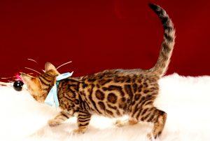 ベンガルの子猫 2017年9月30日生まれ 423番みずいろ君 オス