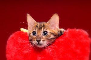 ベンガルの子猫 2016年12月28日生まれ 299番イエローくん