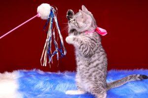 ベンガルの子猫 2016年12月28日生まれ 302番ピンクちゃん