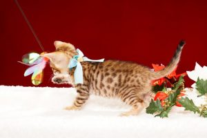 ベンガルの子猫2017年10月15日生まれ 426番みずいろ君